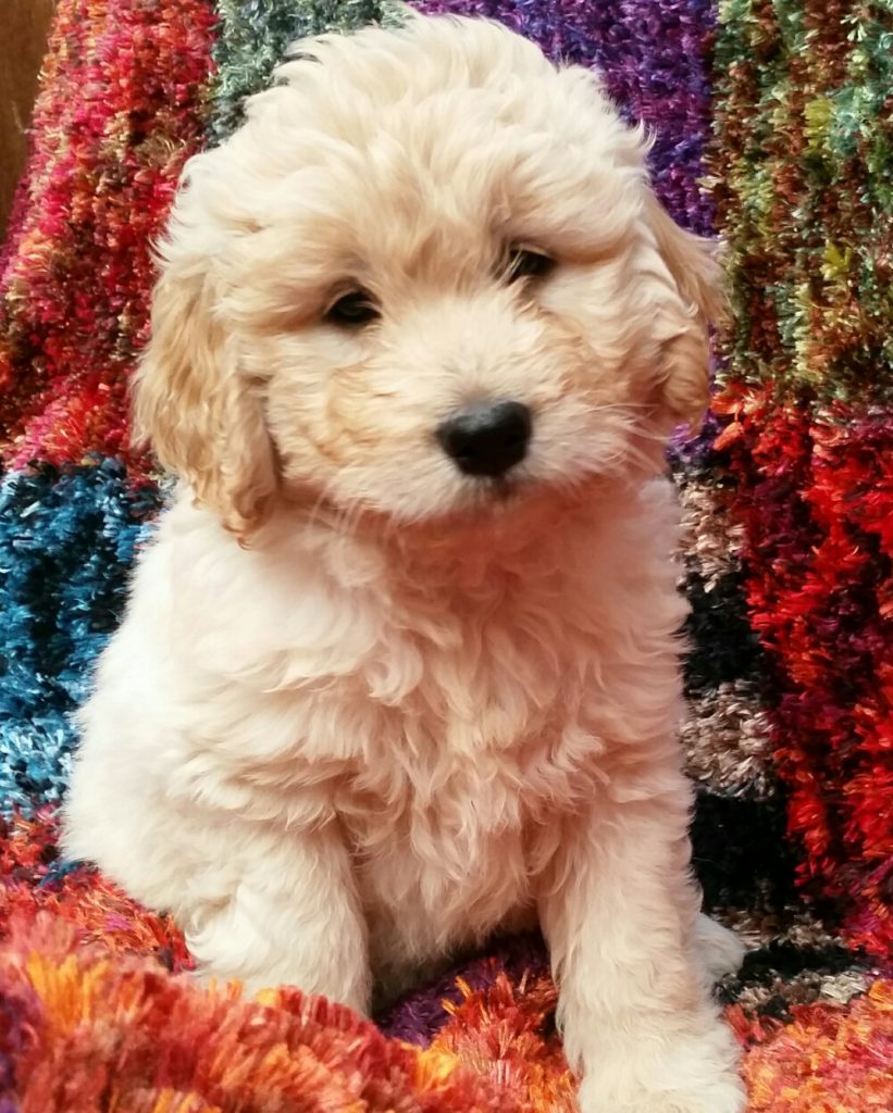 Puppies Available Mini Groodles