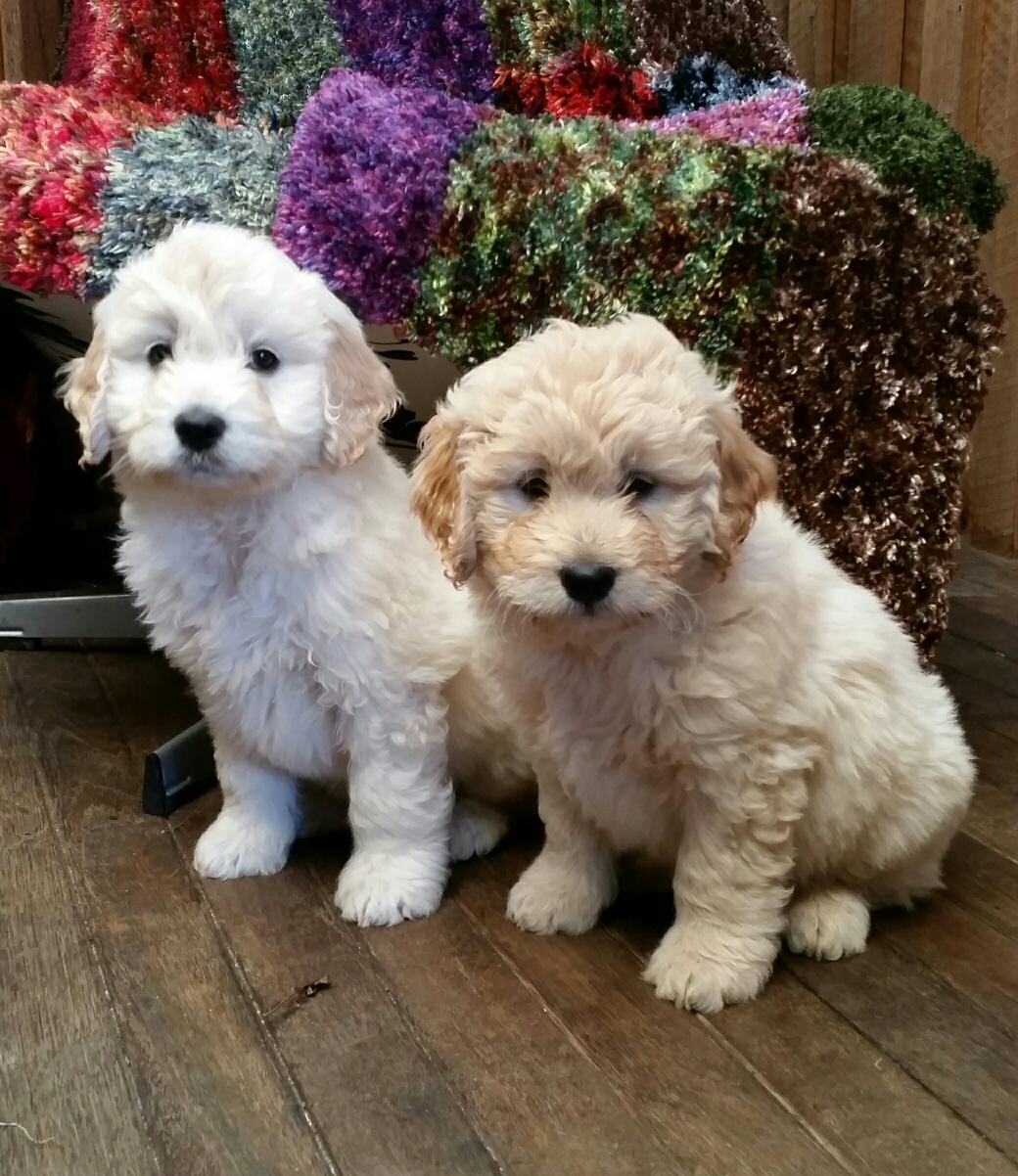 Puppies Available | Mini Groodles