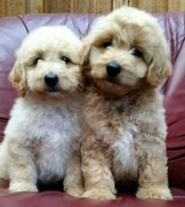 two-pups-mr-red-willow